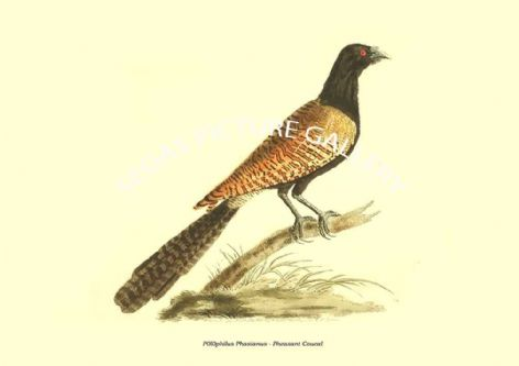 Fine art print of the P0l0philus Phasianus - Pheasant Coucal by the artist Frederick Polydore Nodder